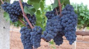 Gamay Noir grape clusters