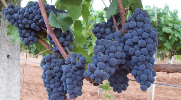 Gamay Noir grape clusters