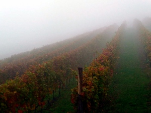 Early morning fog in a Nebbiolo vineyard