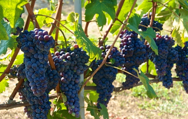 Grapes of Summer: Nebbiolo