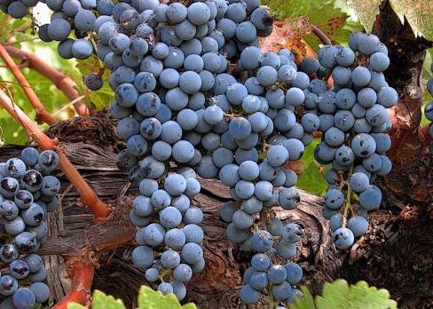 zinfandel-wine-grapes-charlette-miller